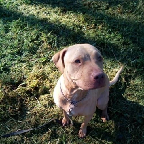 ♥ Roxy ♥ - Love my humans - American Staffordshire Bull Terrier Dog