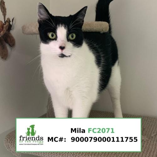 Mila - Domestic Short Hair Cat