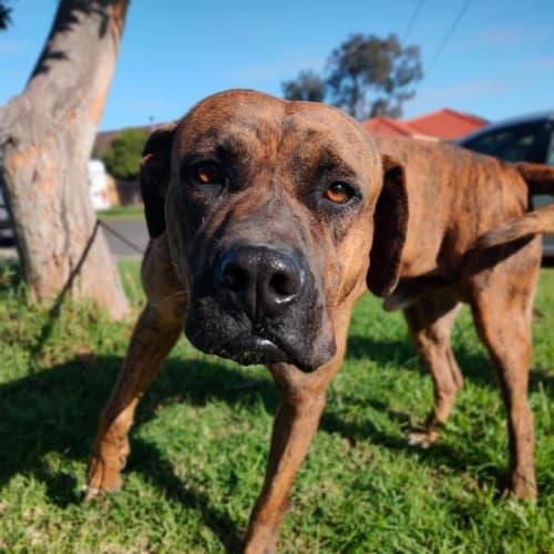 Bruiser  - Neapolitan Mastiff Dog