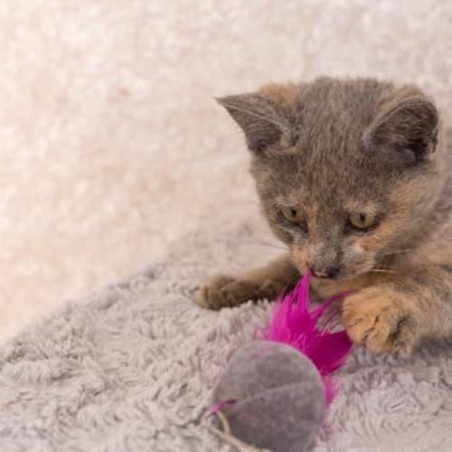 Briella - Domestic Short Hair Cat