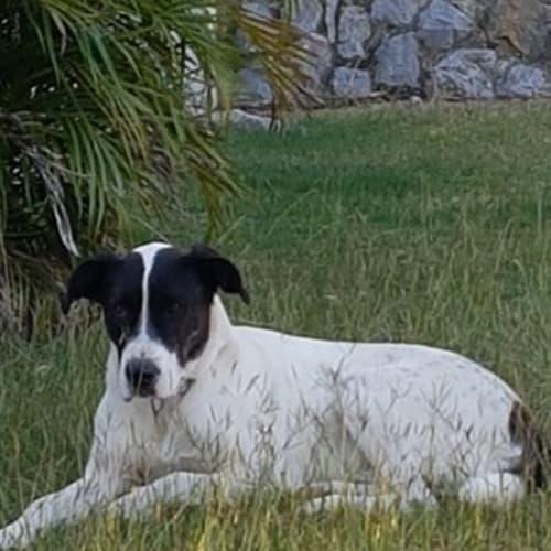 Bruno - Bull Arab Dog