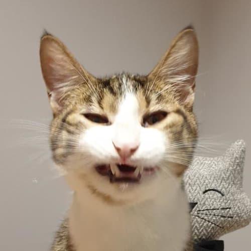 Bishop - Domestic Short Hair Cat