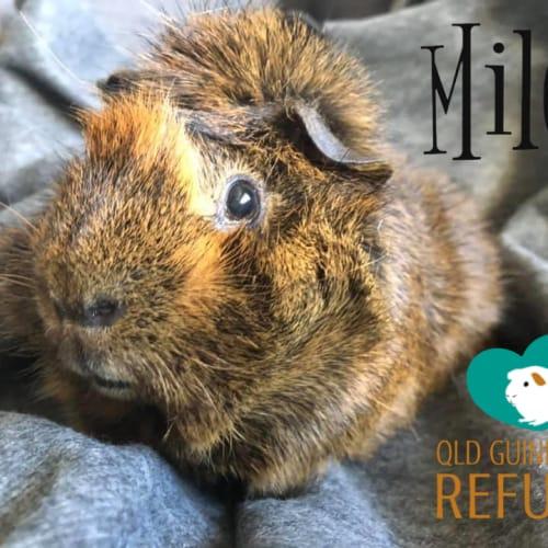 Milo - Abyssinian Guinea Pig