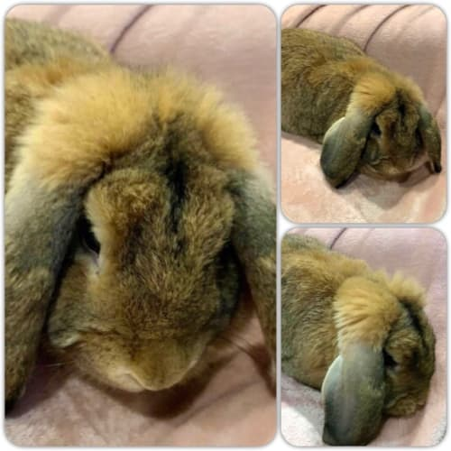 Honey Bunny - Lop Eared Rabbit