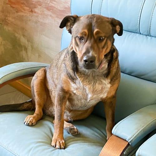Hippy - Staffordshire Bull Terrier Dog