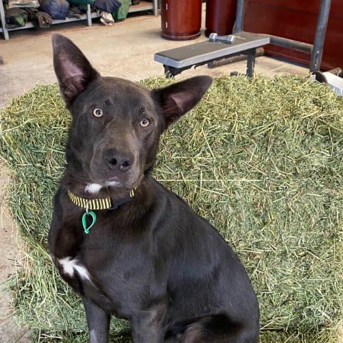Reggie - Kelpie Dog