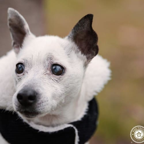 Quigley - Jack Russell Terrier Dog