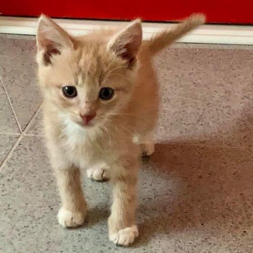 Marmalade - Domestic Long Hair Cat