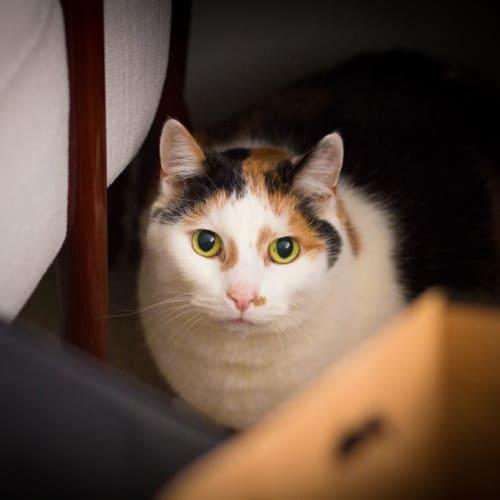 Mia - Persian Cat