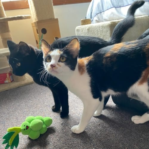 Sal and Blair ~ 6Mo DSH Kittens - Domestic Short Hair Cat