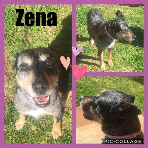 Zena - Australian Cattle Dog x Wolfhound Dog