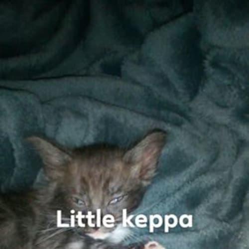 Keppa - Domestic Short Hair Cat