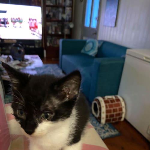 Ping - Domestic Short Hair Cat