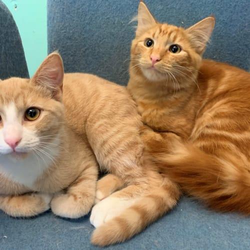 Bill & Ben - Domestic Short Hair x Domestic Medium Hair Cat
