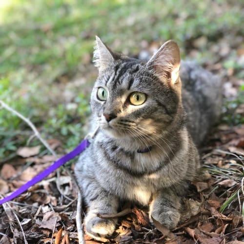 Misty  - Domestic Short Hair Cat