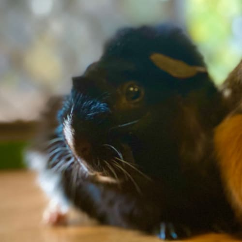 Spike - Desexed - - Abyssinian Guinea Pig