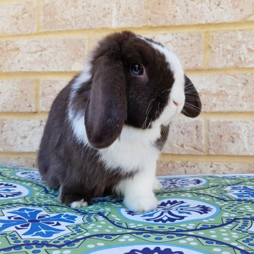 Aribella *On Trial* - Mini Lop Rabbit