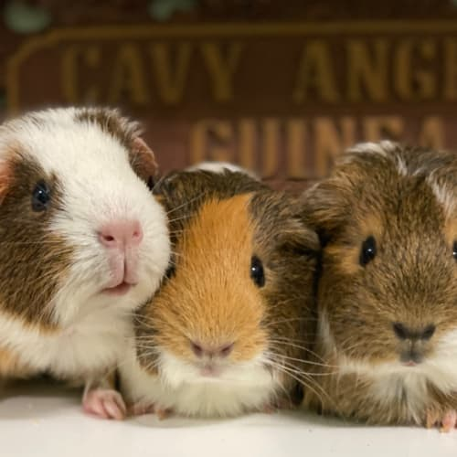 Pancake, Waffles & Maple - Smooth Hair Guinea Pig