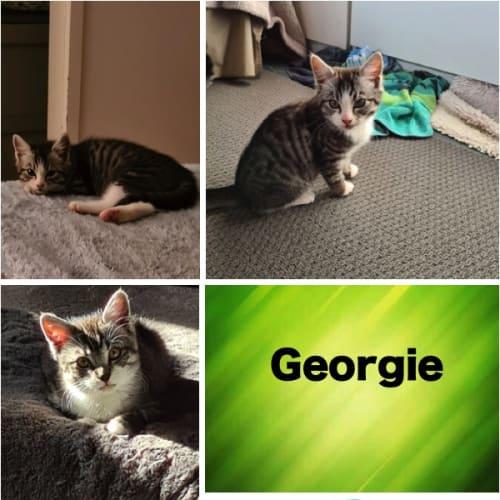 Georgie - Domestic Medium Hair Cat