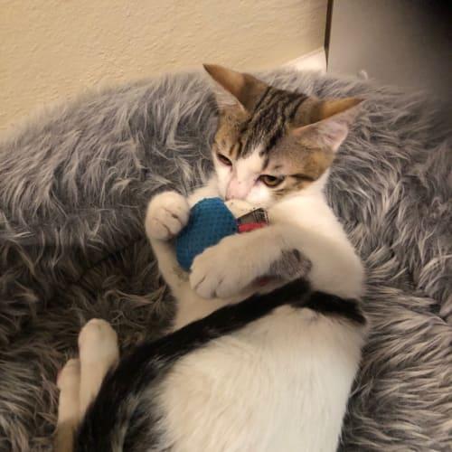 Eddie - Domestic Short Hair Cat