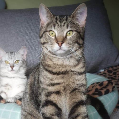 Quill ❤ - Siamese Cat
