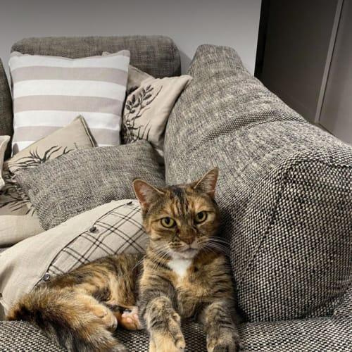 Lili - Domestic Short Hair Cat