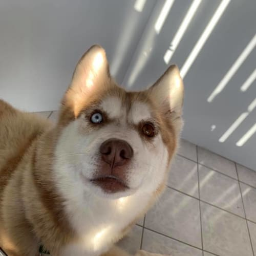 Sadie - Siberian Husky Dog