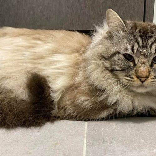 3438 - Cassidy - Domestic Medium Hair Cat