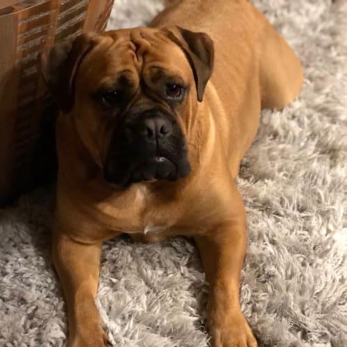 Marli  - British Bulldog