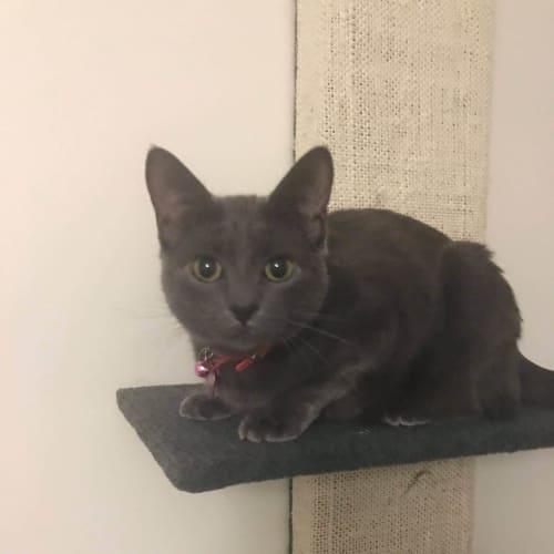 Tachi  - Domestic Short Hair Cat