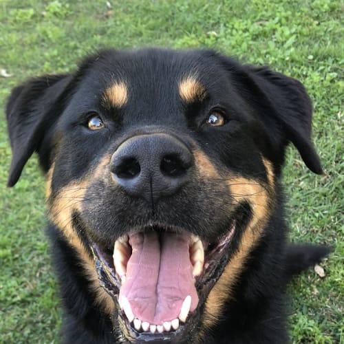 Jackson - 5 yr old Rotti x Malamute - Rottweiler x Alaskan Malamute Dog