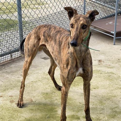 Knowsley - Greyhound Dog