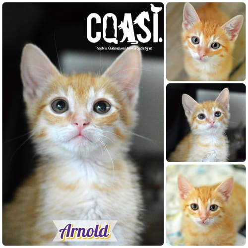 Arnold - Domestic Short Hair Cat
