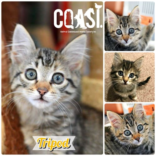 Tripod - Domestic Short Hair Cat