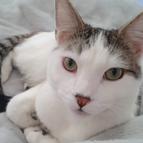 Patchie - Domestic Short Hair Cat