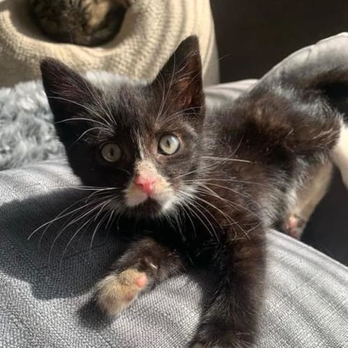 Basil - Domestic Short Hair Cat