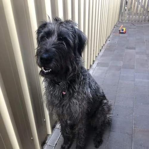 Charley - Irish Wolfhound Dog