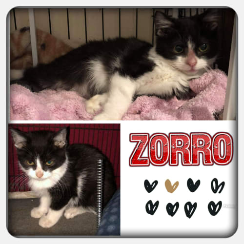 Zorro - Domestic Short Hair x Manx Cat