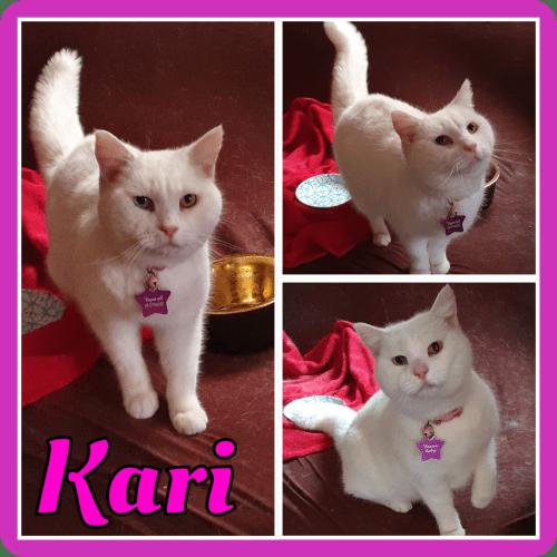 Kari - Domestic Short Hair Cat