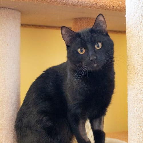Mowgli - Domestic Short Hair Cat
