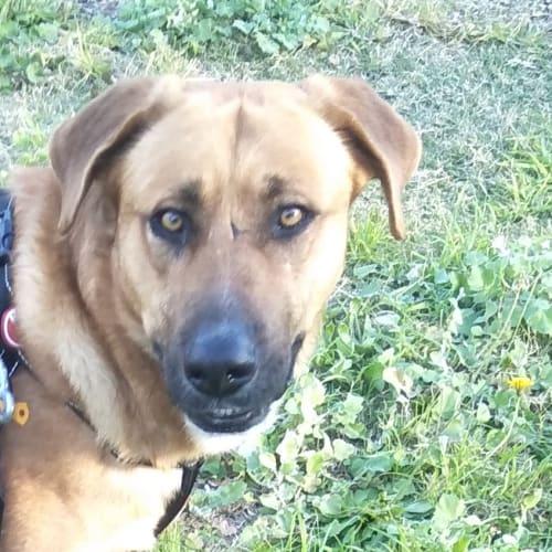 Boof - German Shepherd Dog