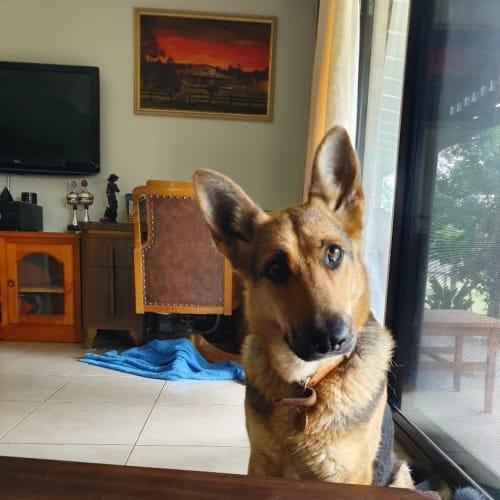 Rexie (bonded with Bear) - German Shepherd Dog