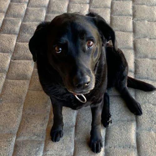 Tilly - Labrador Dog