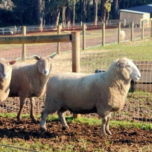 Sheep for Adoption