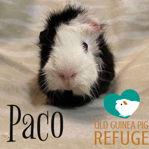 Paco - Abyssinian Guinea Pig