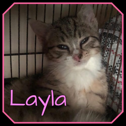 Layla - Domestic Short Hair Cat