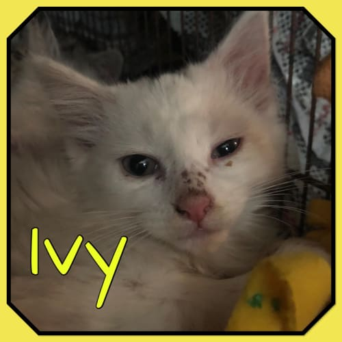 Ivy - Domestic Short Hair Cat