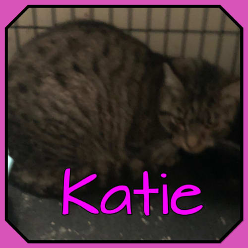 Katie - Domestic Short Hair Cat