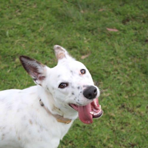 Marvel - Australian Cattle Dog x Kelpie Dog