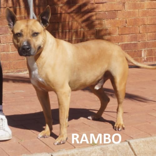 Rambo - Bull Terrier Dog